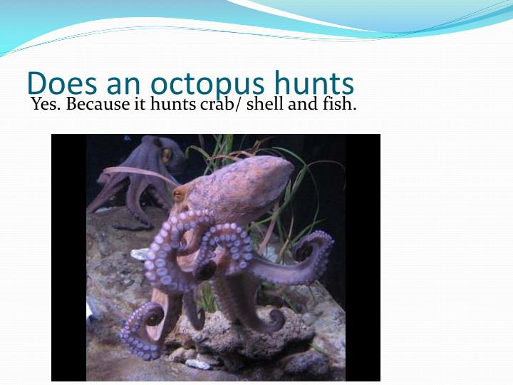 Does an octopus hunts