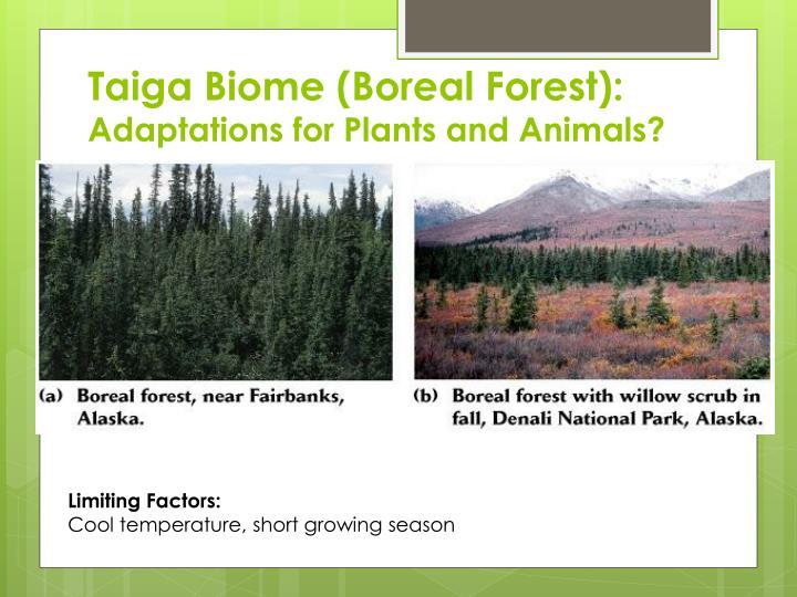 Taiga Biome (Boreal Forest):