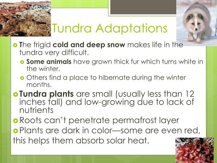 Tundra Adaptations