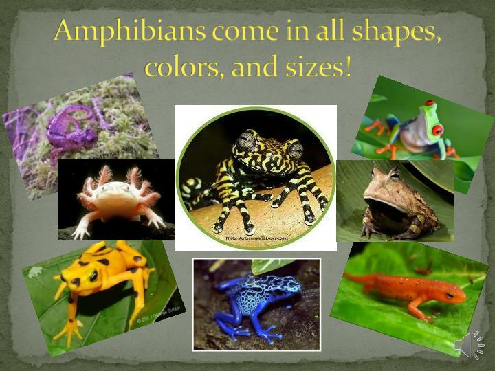 Amphibians come in all shapes,     colors, and sizes!