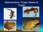 salamanders frogs newts toads