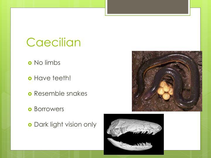 Caecilian