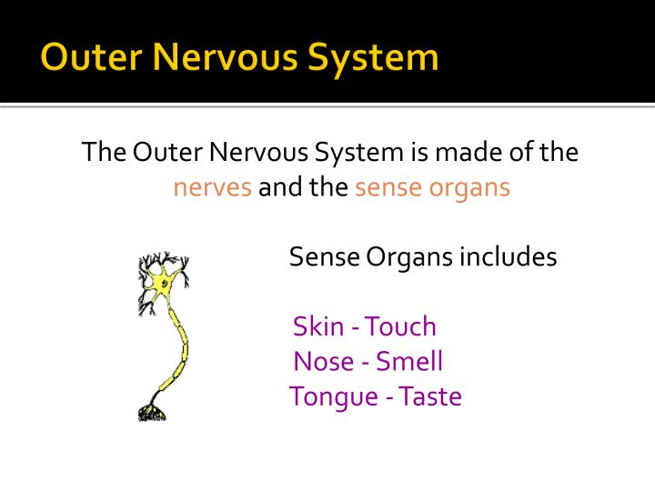 Outer Nervous System