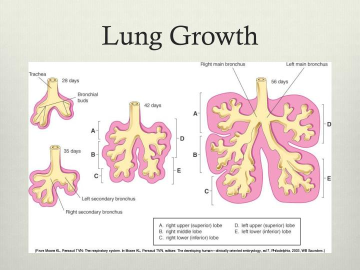 Lung Growth