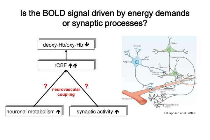 Is the BOLD signal driven by energy demands or synaptic processes?