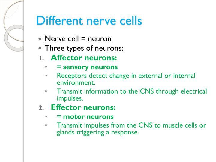 Different nerve cells