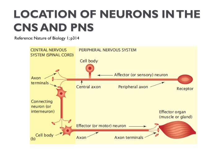 Location of neurons in the CNS and PNS