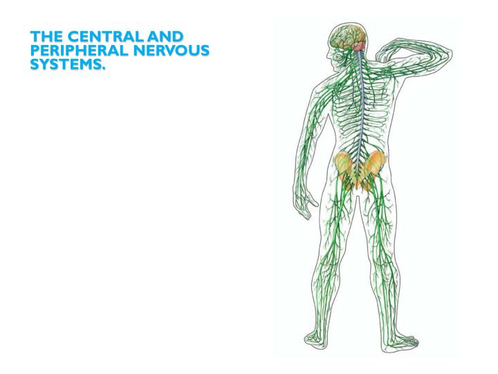 The central and peripheral nervous systems.