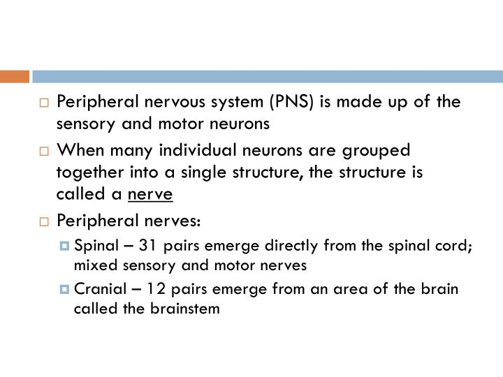 Peripheral nervous system (PNS) is made up of the sensory and motor neurons
