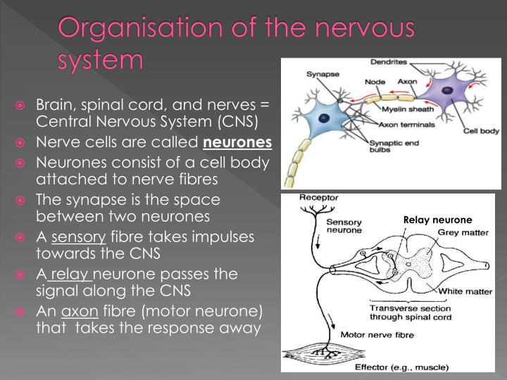 Organisation of the nervous system