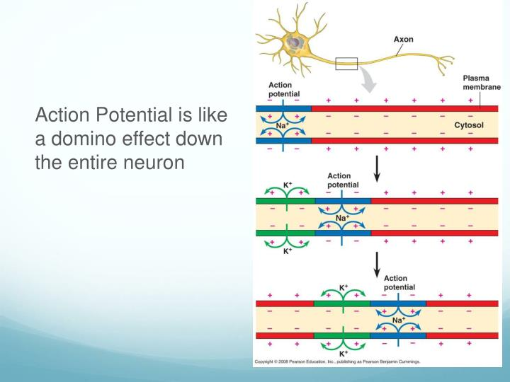 Action Potential is like a domino effect down the entire neuron