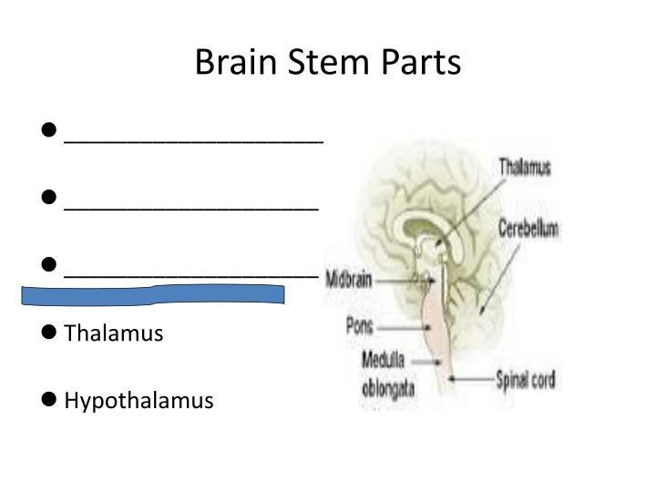 Brain Stem Parts