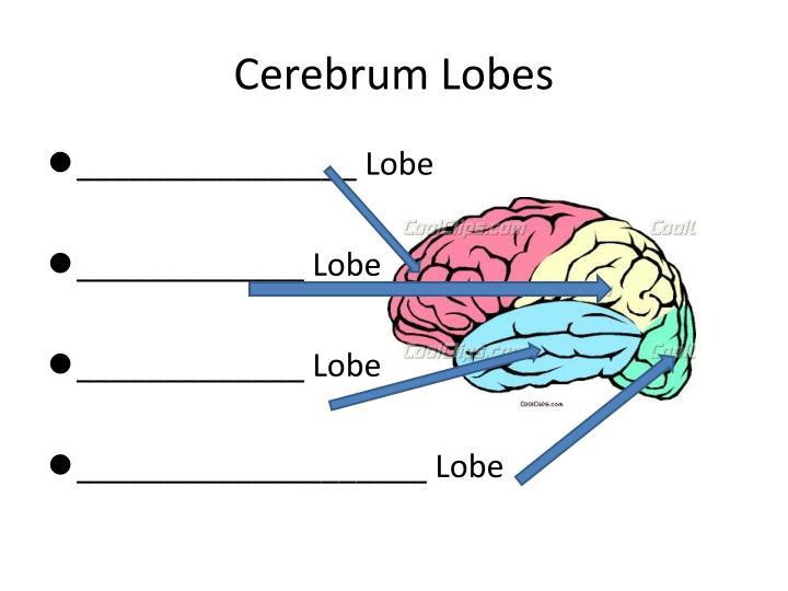 Cerebrum Lobes