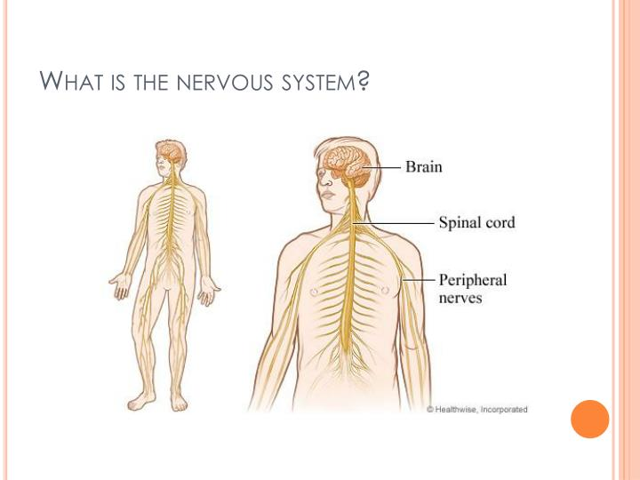 What is the nervous system