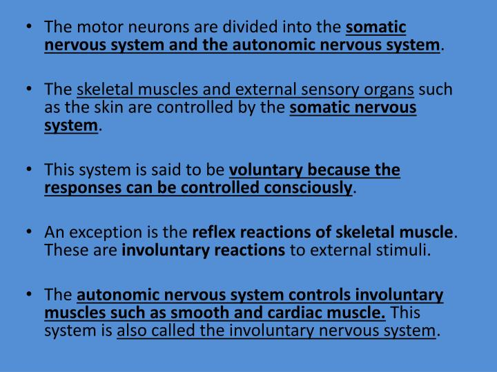 The motor neurons are divided into the