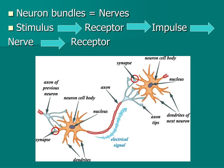 Neuron bundles = Nerves