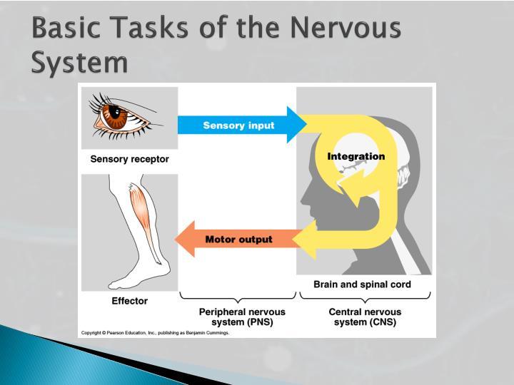 Basic Tasks of the Nervous System