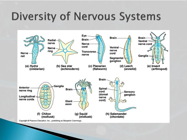 Diversity of Nervous Systems