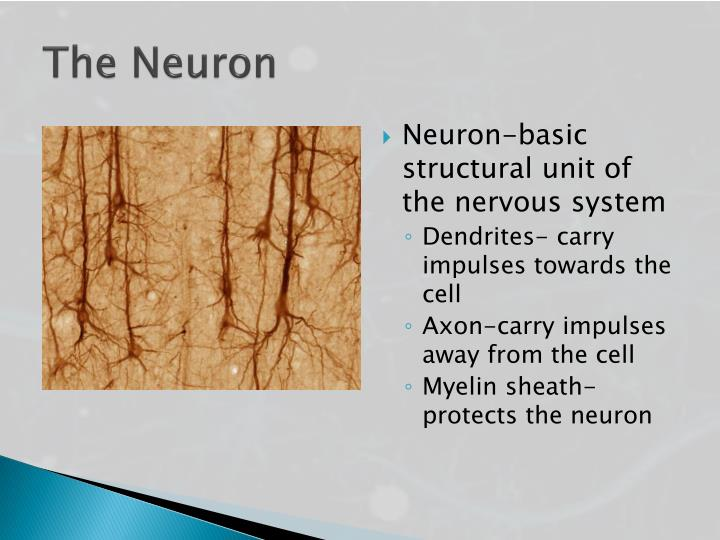 The Neuron