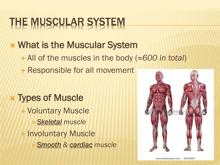 What is the Muscular System