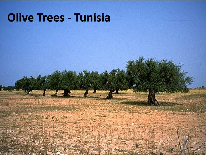 Olive Trees - Tunisia