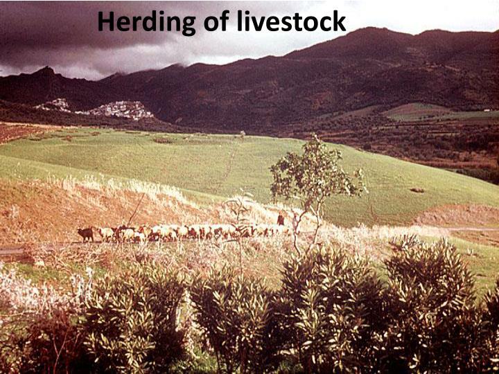 Herding of livestock