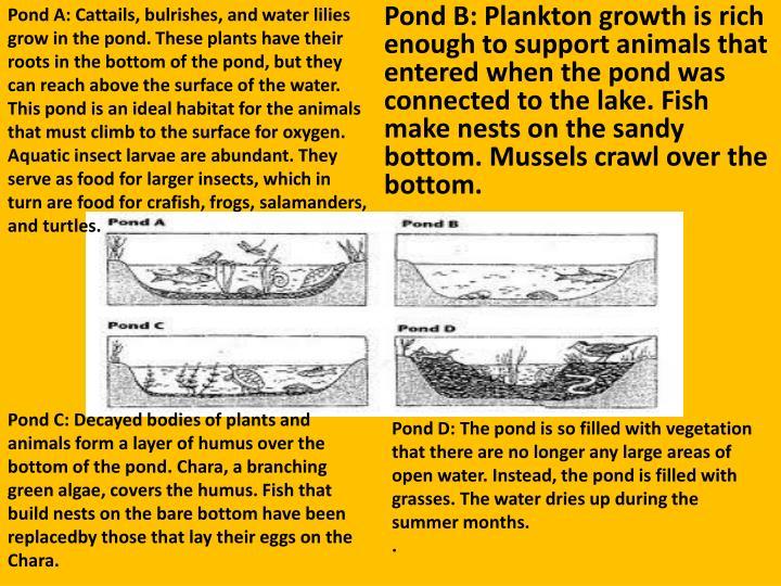 Pond A: Cattails,