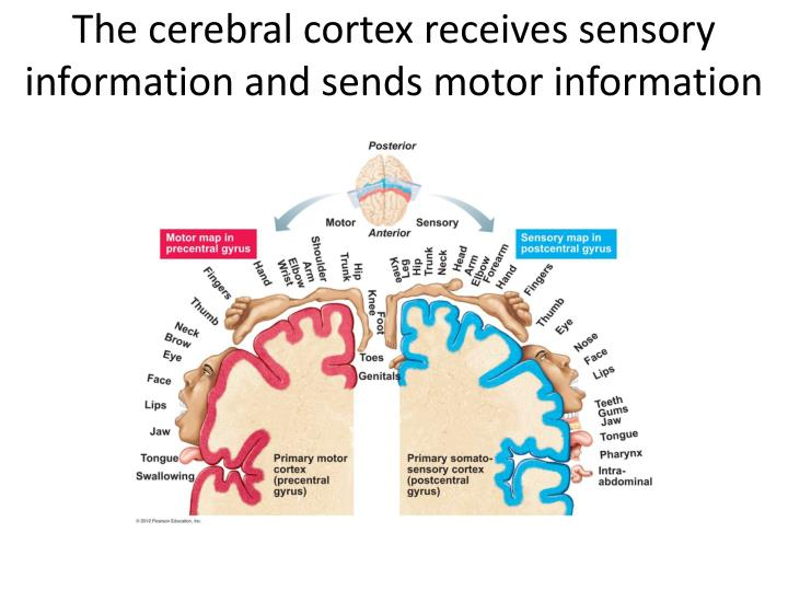 The cerebral cortex receives sensory information and sends motor information