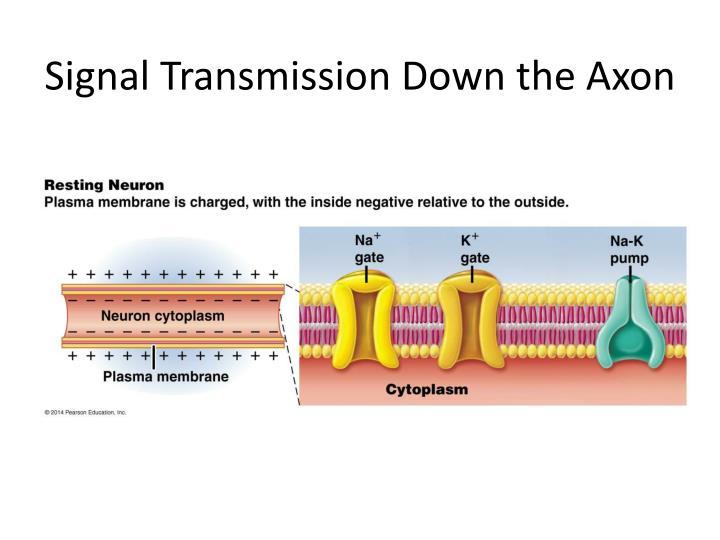 Signal Transmission Down the Axon