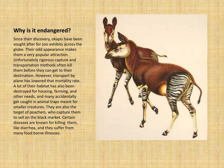 Why is it endangered?