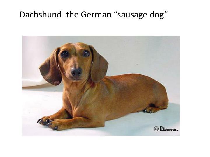 "Dachshund  the German ""sausage dog"""