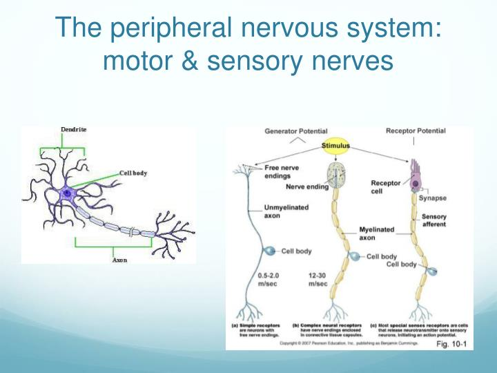 The peripheral nervous