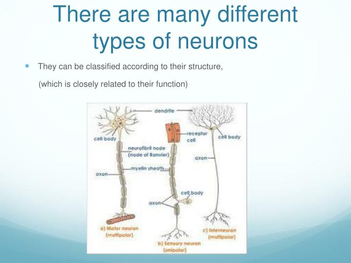 There are many different types of neurons