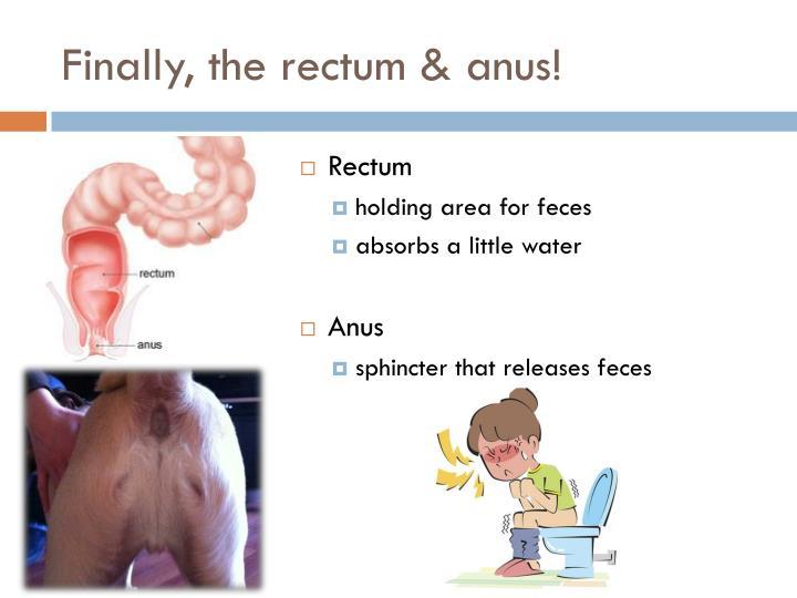 Finally, the rectum & anus