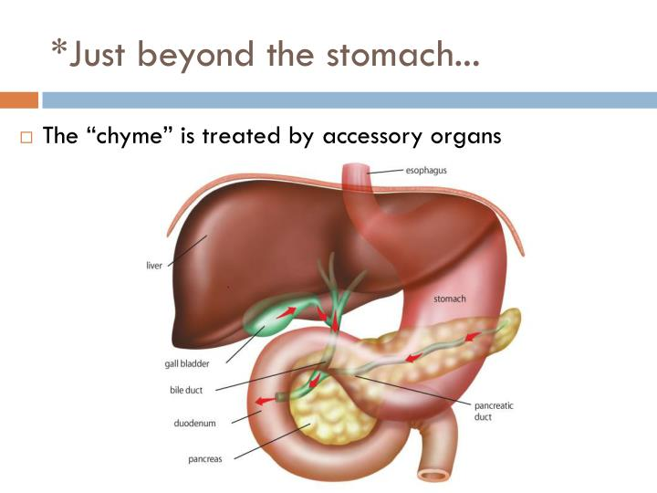 *Just beyond the stomach...