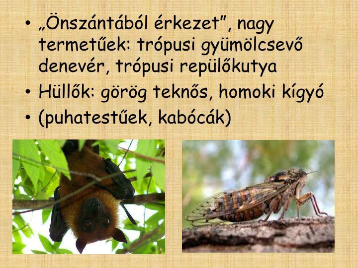 """""""Önszántából érkezet"""", nagy termetűek: trópusi gyümölcsevő denevér, trópusi repülőkutya"""
