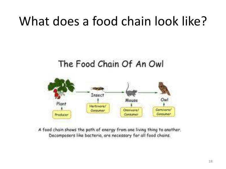 What does a food chain look like?