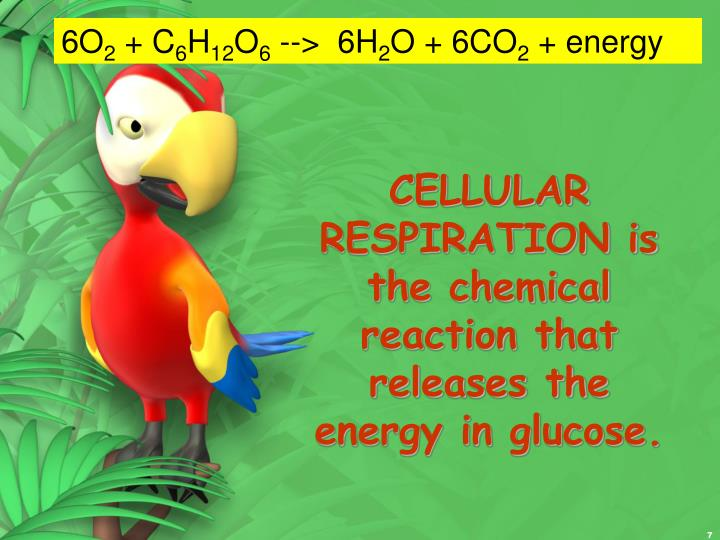 CELLULAR RESPIRATION is the chemical reaction that releases the energy in glucose.