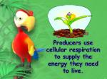 producers use cellular respiration to supply the energy they need to live