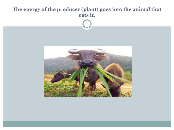 The energy of the producer (plant) goes into the animal that eats it.