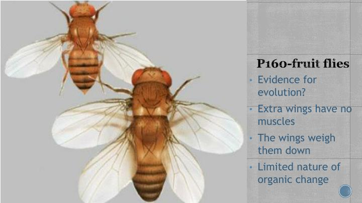 P160-fruit flies