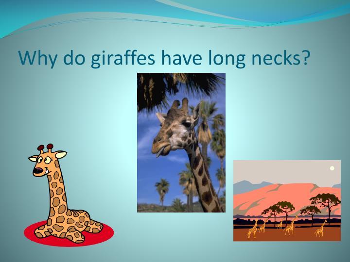 Why do giraffes have long necks?
