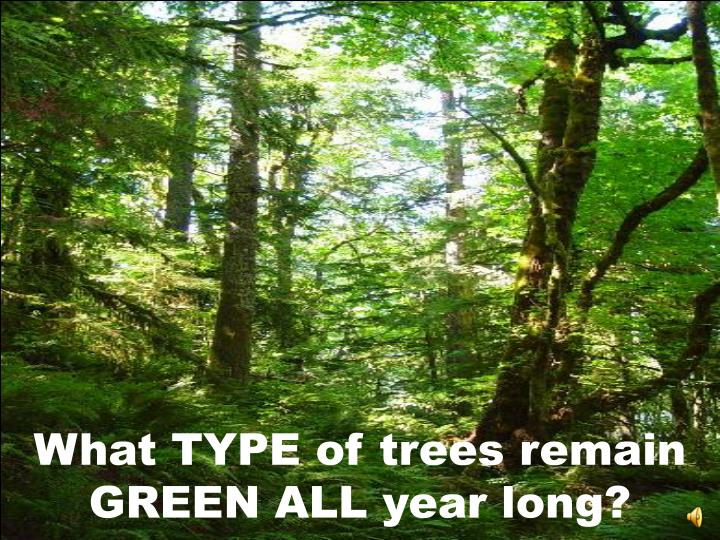 What TYPE of trees remain GREEN ALL year long?