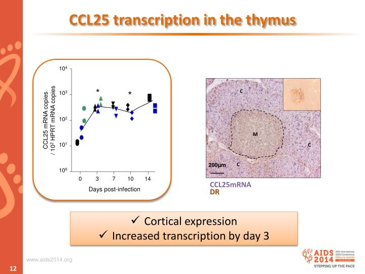 CCL25 transcription in the thymus