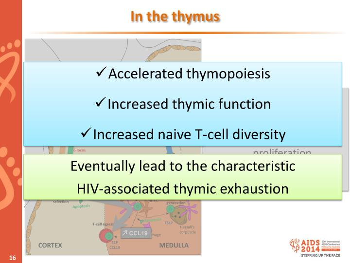 In the thymus