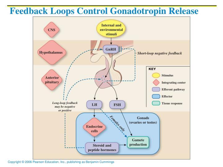 Feedback Loops Control Gonadotropin Release