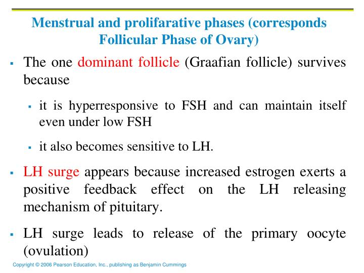 Menstrual and prolifarative phases (corresponds Follicular Phase of Ovary)