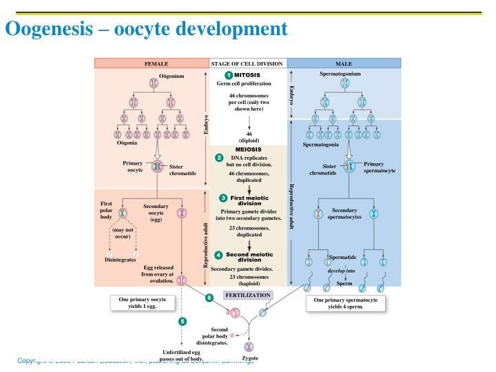 Oogenesis – oocyte development