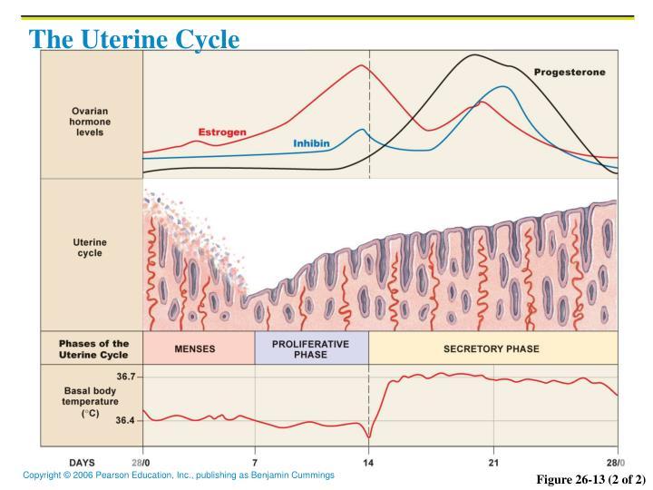The Uterine Cycle