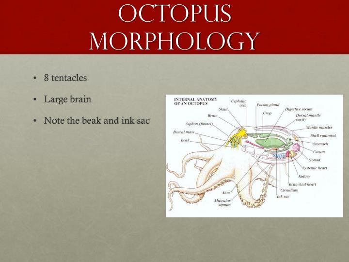 Octopus Morphology